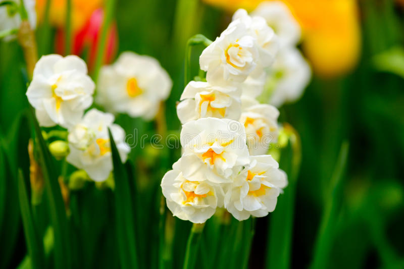 Yellow daffodils flowers macro royalty free stock images