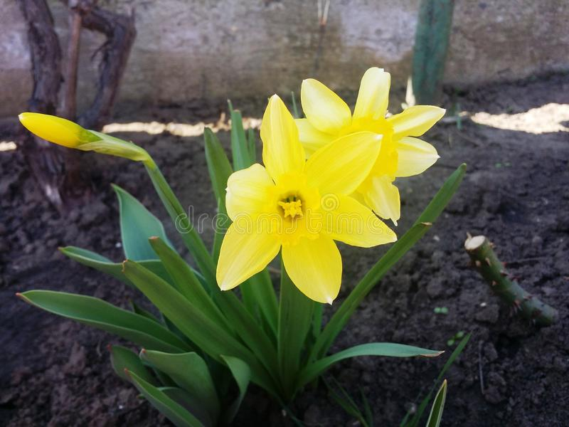 Yellow daffodils . royalty free stock photography