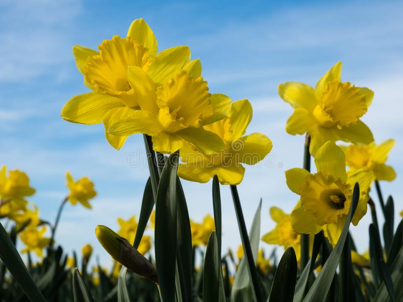 Yellow daffodils growing on a field against blue sky stock images