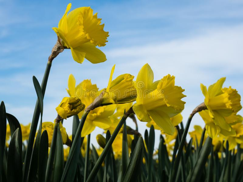 Yellow daffodils growing on a field against blue sky royalty free stock photo