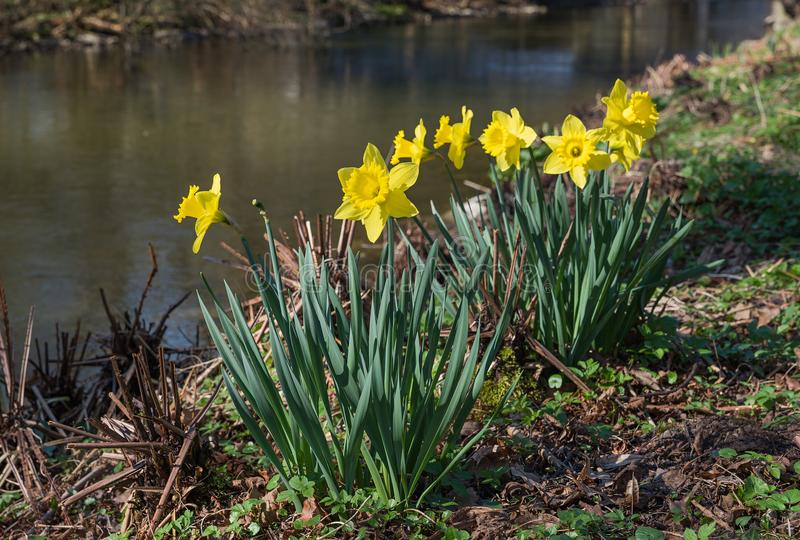 Yellow daffodils nearby little brook royalty free stock image