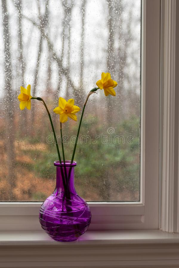 Yellow daffodils in a purple vase on the windowsill on a rainy day. Three delightful yellow daffodils in a purple vase on the windowsill on the back porch on a royalty free stock image