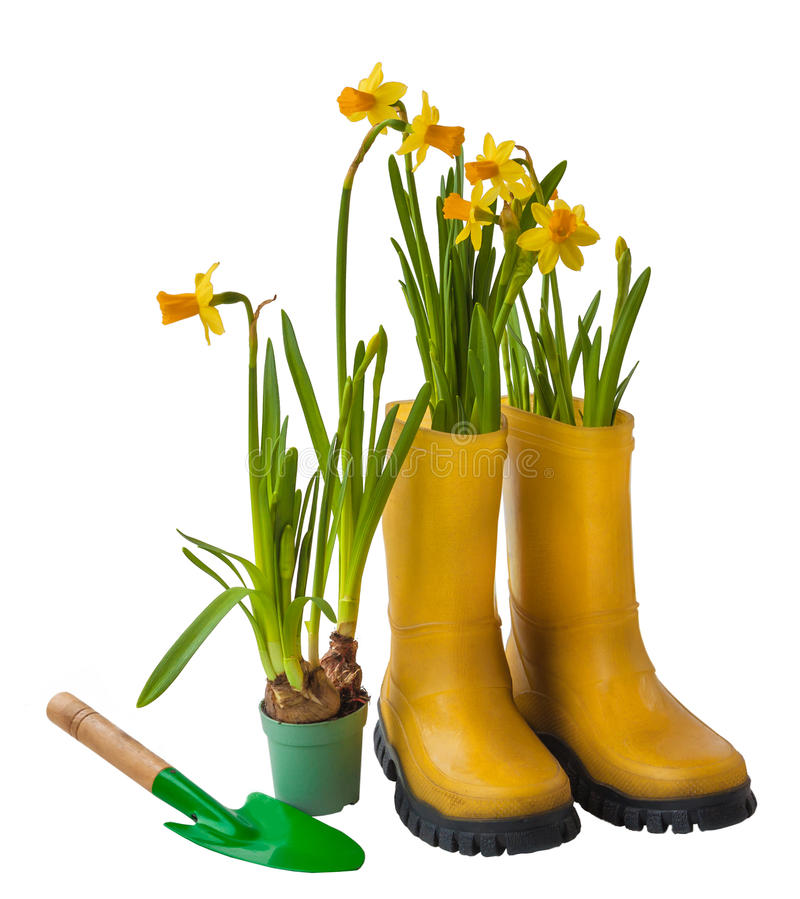 Yellow daffodils and rubber boots isolated royalty free stock image