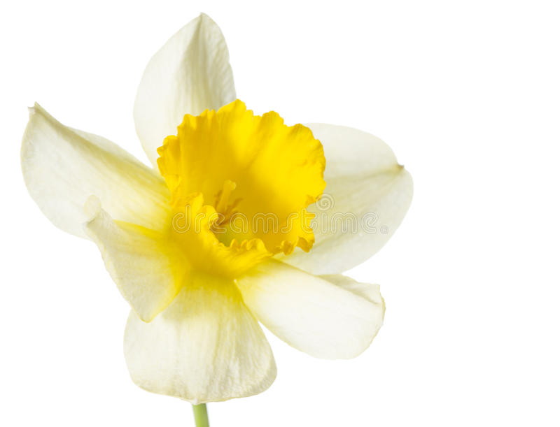 Yellow daffodils. On white background royalty free stock photography