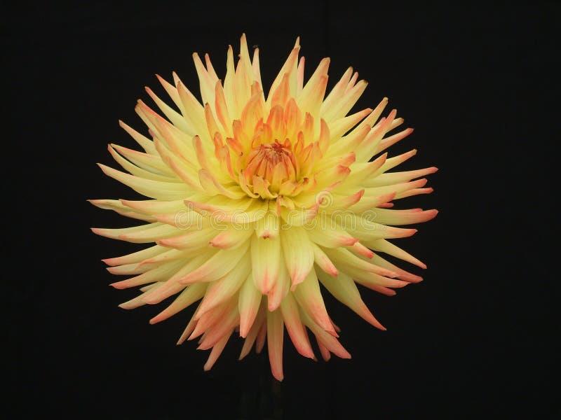 Yellow Dahlia. royalty free stock photos