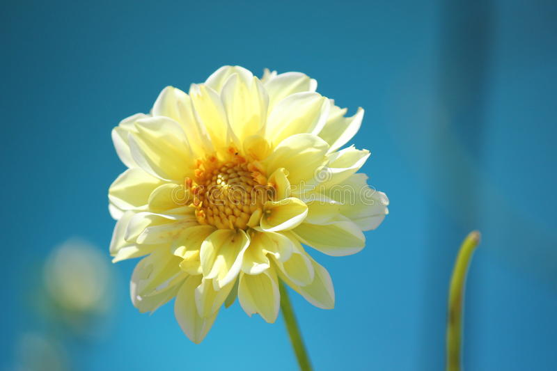 Yellow dahlia stock photo