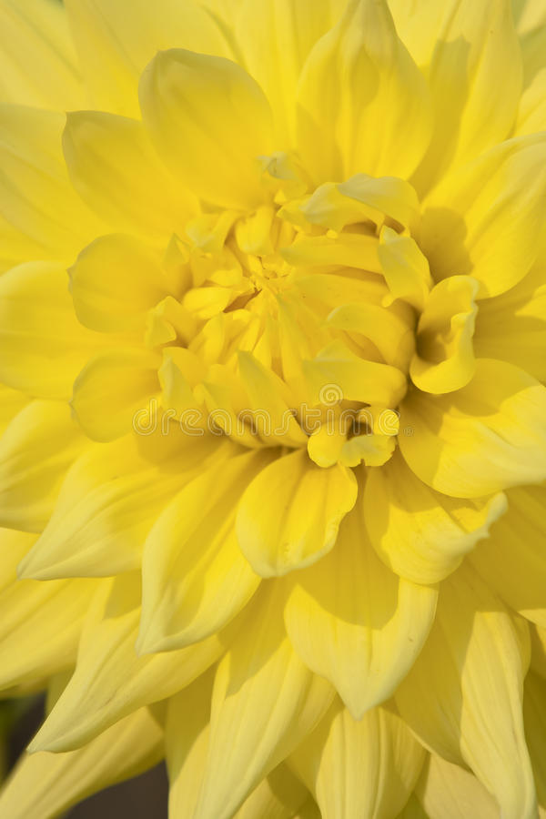 Free Yellow Dahlia Flower Stock Images - 27127234