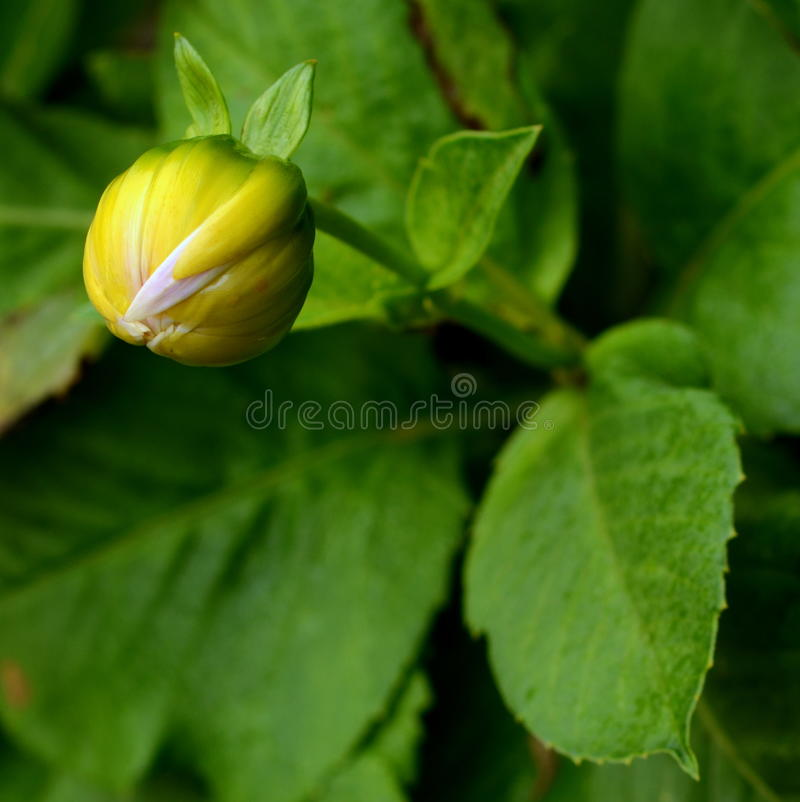 Free Yellow Dahlia Flower Bud Royalty Free Stock Images - 29099569
