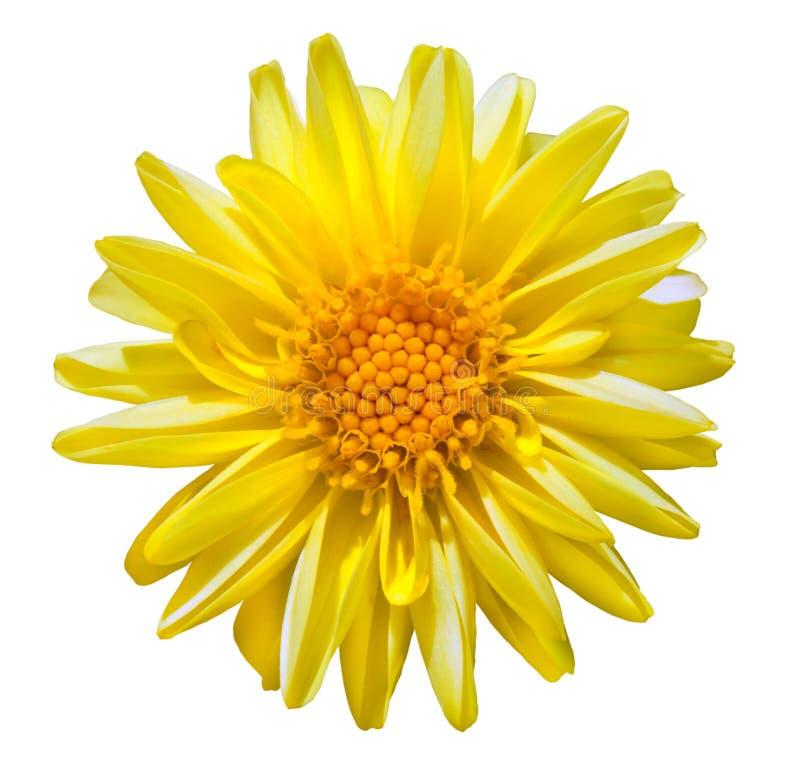 Free Yellow Dahlia Flower Isolated On White Stock Photo - 15988500