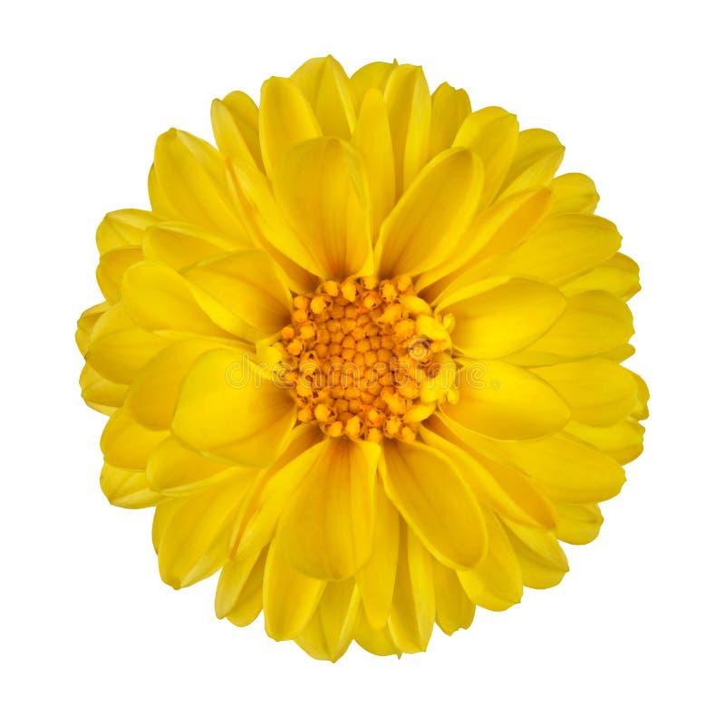 Free Yellow Dahlia Flower Isolated On White Royalty Free Stock Photos - 22465358