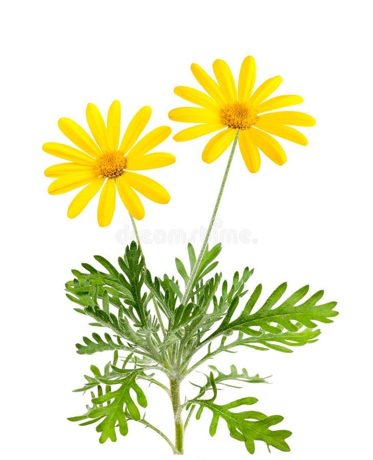 Free Yellow Daisies Stock Photo - 40798600