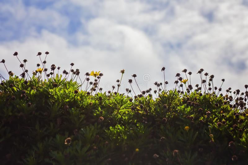 Yellow Daisies Blooming in a Field With Clouds and Sky Background stock photography