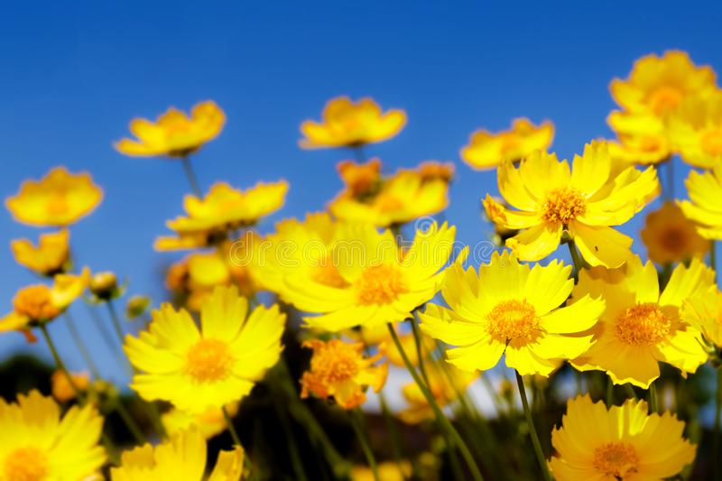 Yellow daisies and blue sky stock image