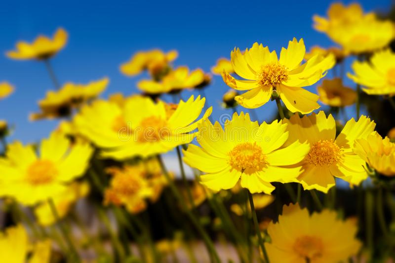 Yellow daisies and blue sky royalty free stock photography