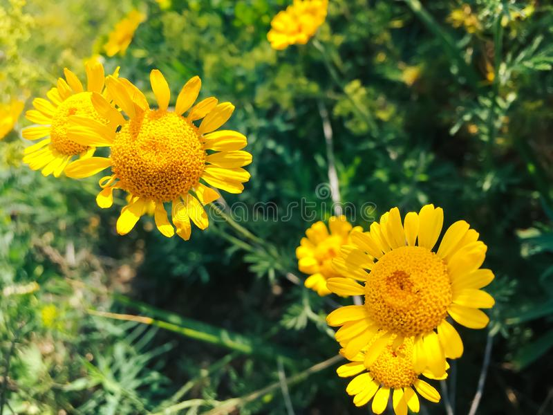 Yellow daisies close-up on a background of foliage 1 royalty free stock image