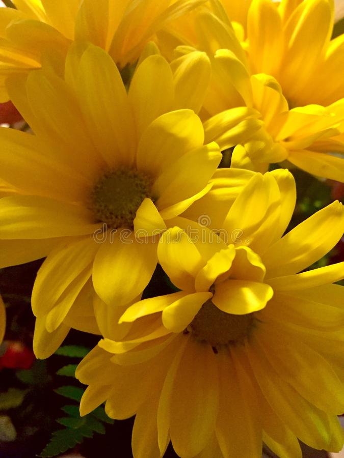Yellow daisies from the garden. royalty free stock images