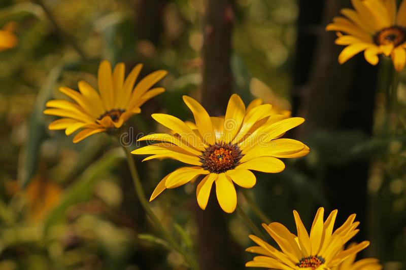 YELLOW DAISIES IN A GARDEN. View of a yellow daisies in a shaded area of a garden in summer royalty free stock photos