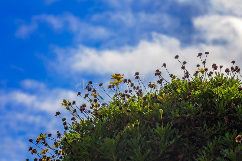 Yellow Daisies Growing on a Grassy Hill With Blue Sky and Clouds stock image