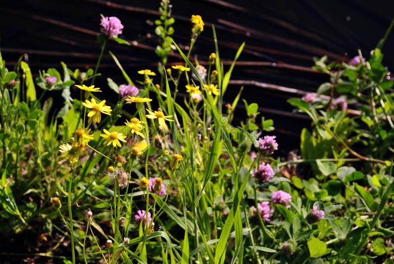 Yellow daisies and pink clover blooming in the bank of the river, spring sunny day stock photos