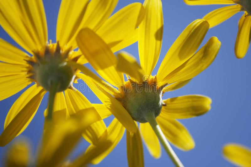 Yellow daisies shoot from the bottom and sky royalty free stock image