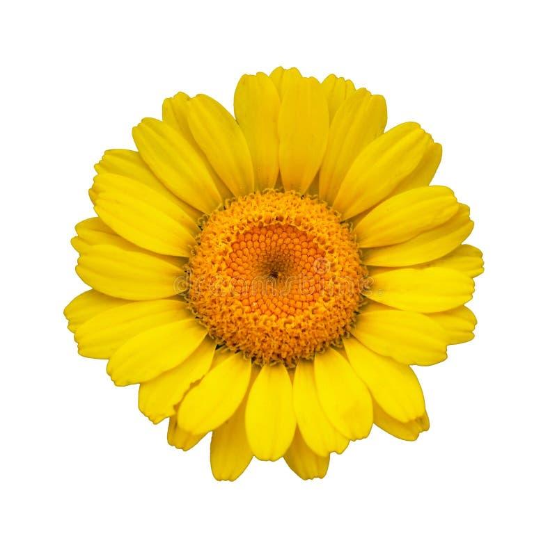 Free Yellow Daisy Royalty Free Stock Photos - 12056638