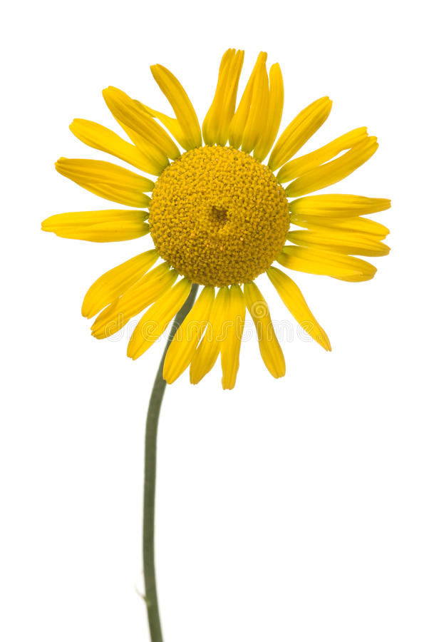 Free Yellow Daisy Stock Images - 15413154