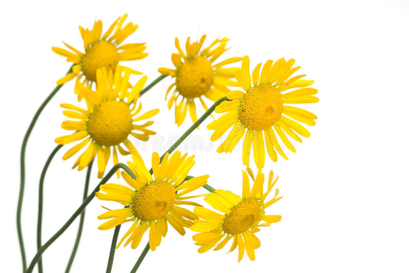 Download Yellow Daisy Stock Photography - Image: 15429072