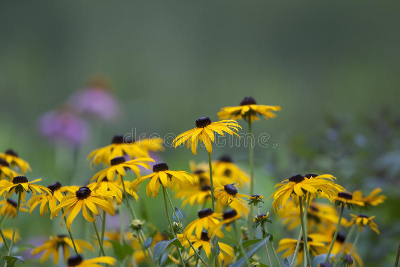 Download Yellow Daisy Stock Images - Image: 19537814
