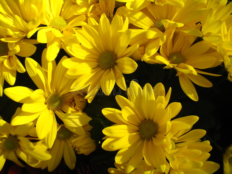 Yellow daisy background stock photography