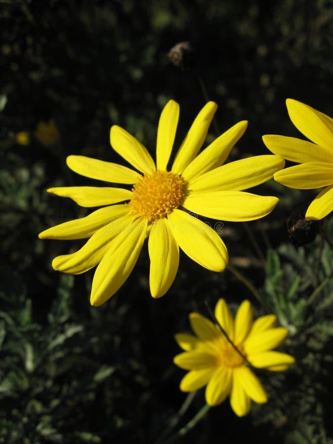 Yellow daisy bush stock photography