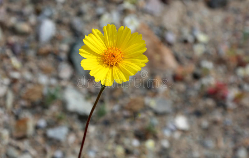 Yellow Daisy Desert Wildflowers Desert Gold (Geraea canescens) royalty free stock images