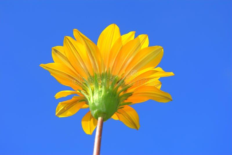 Yellow Daisy Flower Royalty Free Stock Photography