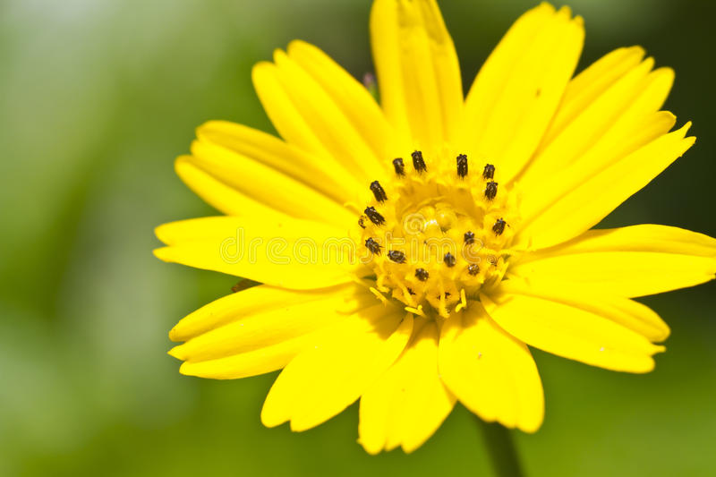 Yellow daisy flower. Close-up photo of yellow daisy flower stock images