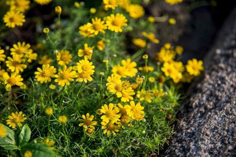 Yellow daisy flower in the garden stock photos