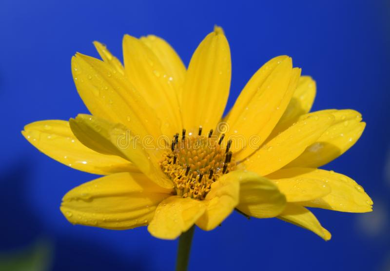 Yellow daisy flower & x28;heliopsis& x29; on the deep blue background. Water drops on a flower stock images