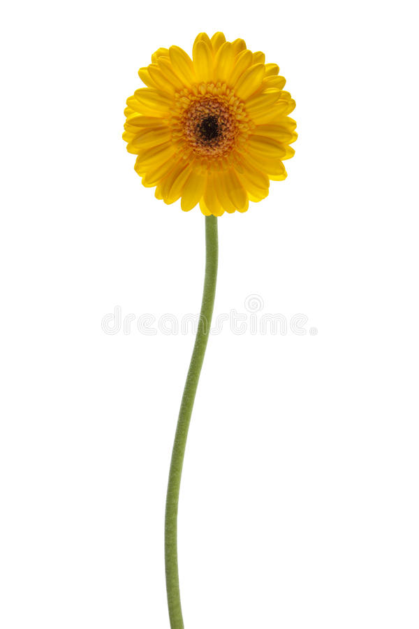 Yellow daisy flower isolated royalty free stock image