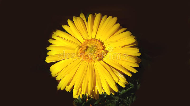 Yellow daisy flower isolated stock photo