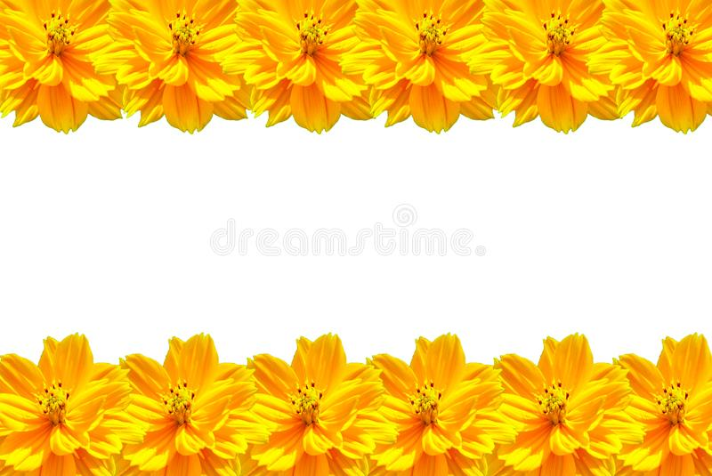Yellow Daisy flower isolated and lined as a photo frame on white. Background, top and bottom frame line royalty free stock image