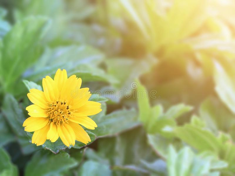 A yellow daisy flower or `Singapore daisy`. A yellow daisy flower or `Singapore daisy` with blurred green leaf background stock photos