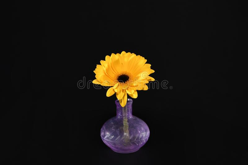 Yellow daisy flower in a vase. Yellow daisy flower in a purple vase stock photography