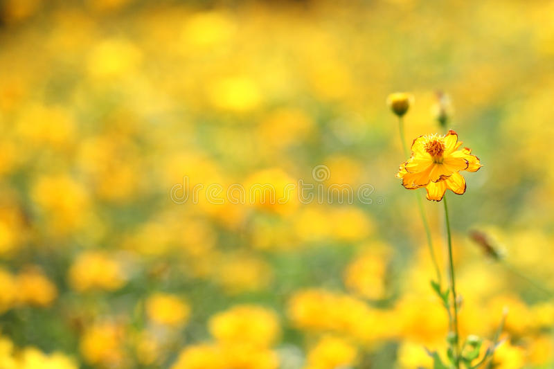 Yellow daisy flower with yellow pattern background. Yellow daisy flower with yellow pattern thank for your support royalty free stock photography