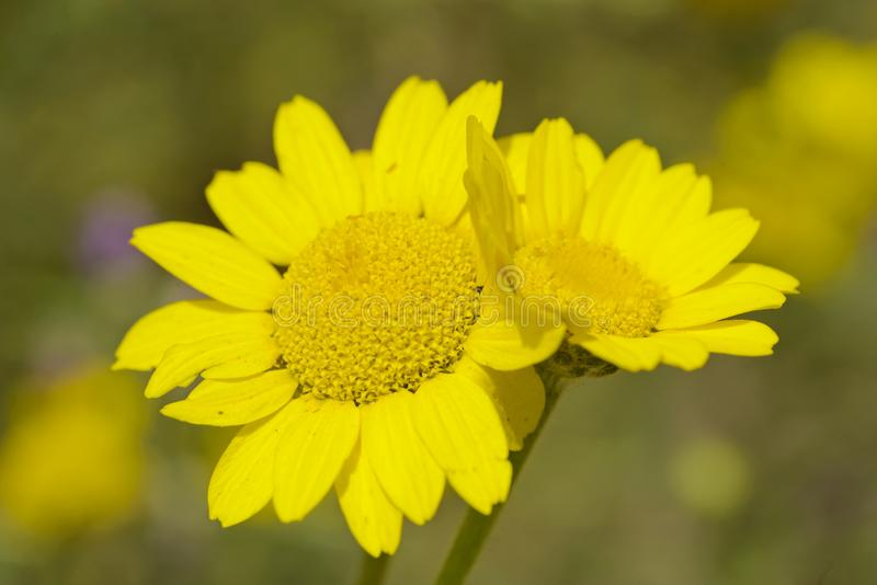 Yellow daisy flowers in full bloom under the sun stock images
