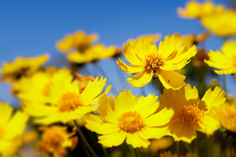 Yellow daisies and blue sky royalty free stock image