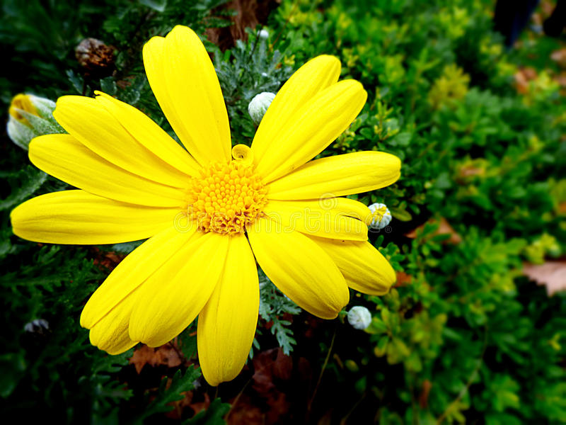The Yellow Daisy royalty free stock photography