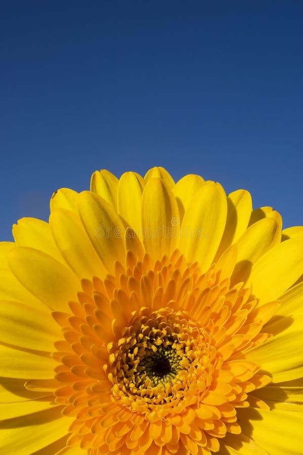 Yellow daisy gerber detail stock image
