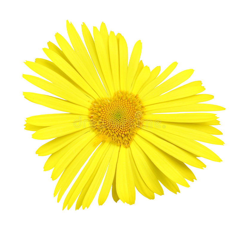 Download Yellow daisy heart stock image. Image of symbol, blossom - 5241371