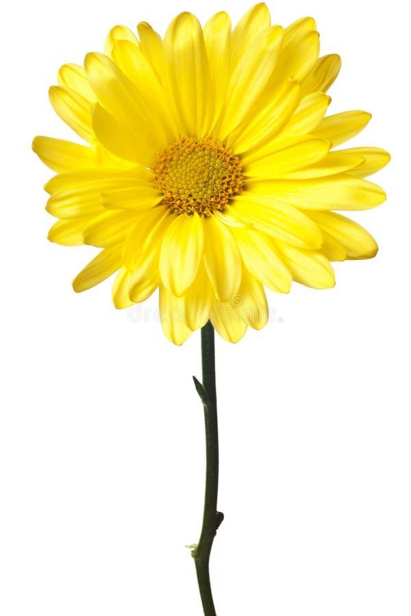 Yellow daisy isolated stock photo