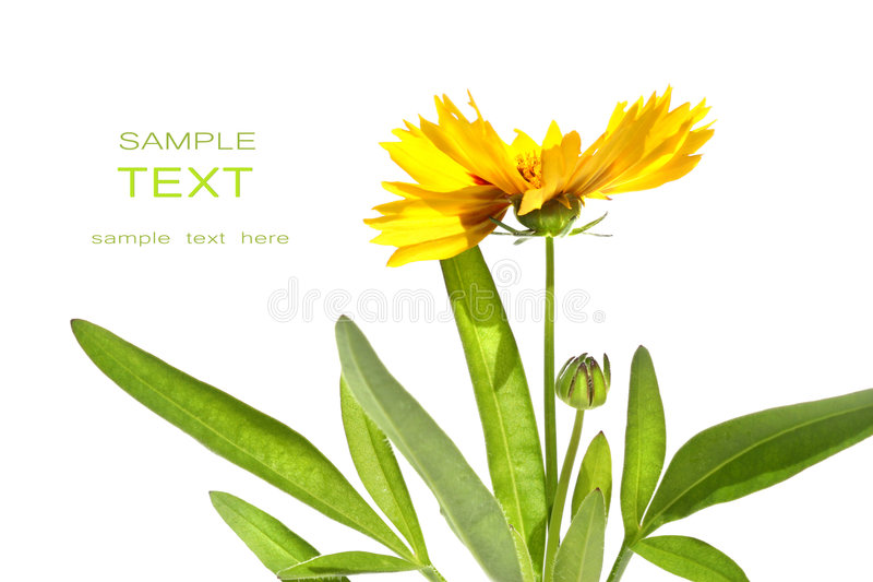 Yellow Daisy Isolated Against White Royalty Free Stock Image