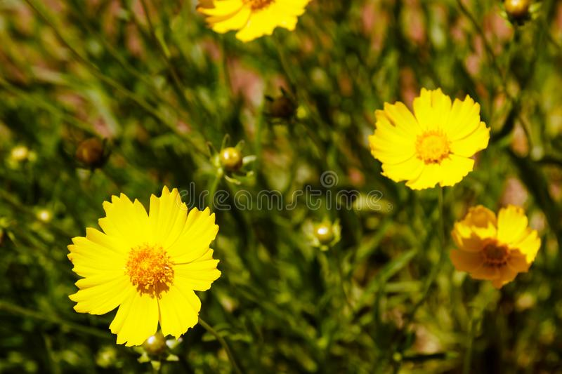 Yellow daisy meadow against a blue sky royalty free stock photo
