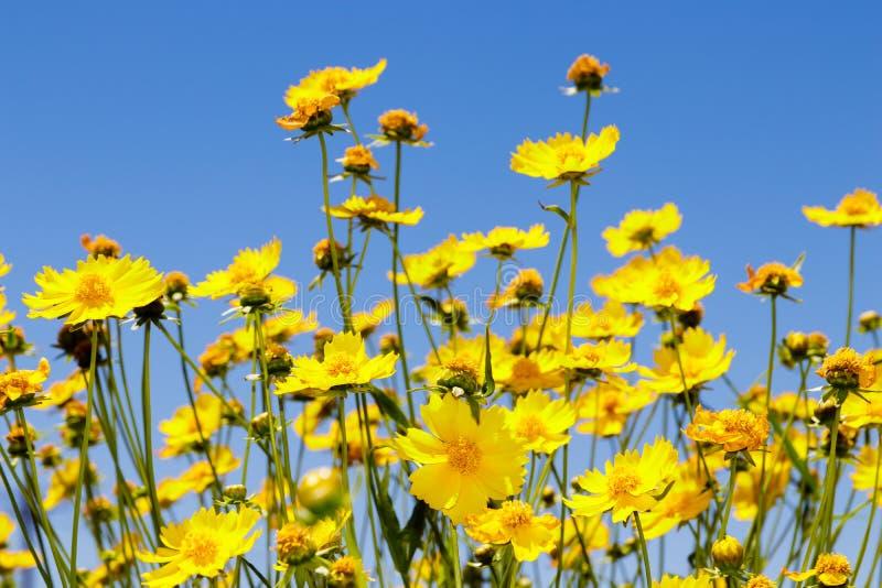Yellow daisy meadow against a blue sky stock photos